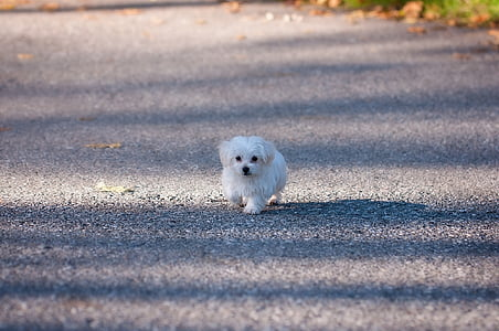 white Maltese puppy walking alone on pathway during daytime
