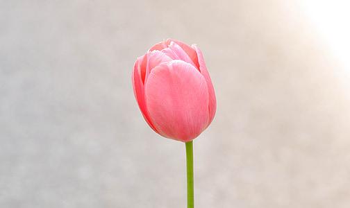 closeup photography of pink tulip