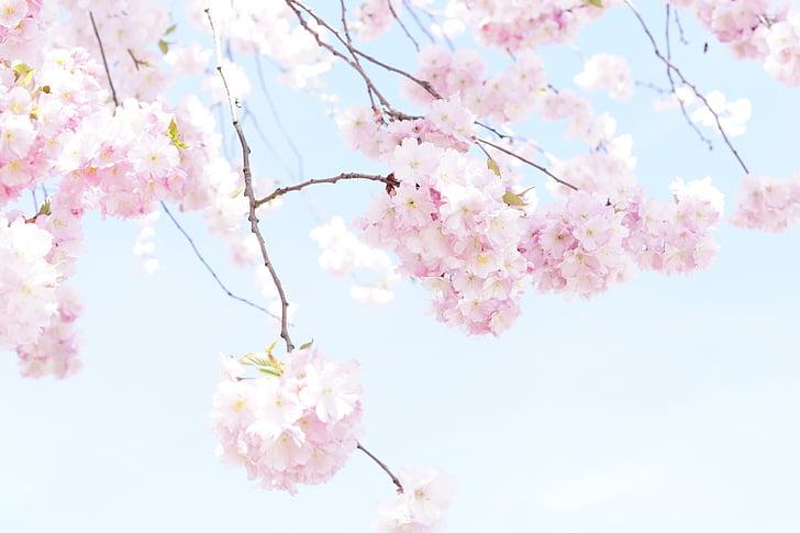 sakura blossom tree petals during daytime