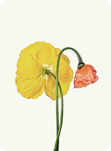 yellow and pink poppies in bloom close up photo
