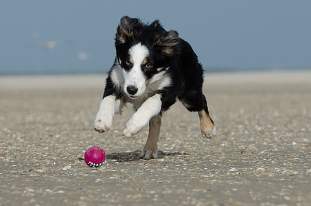 black, white, and brown Australian shepherd chasing pink ball during daytime