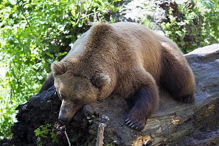 brown bear lying on wood log