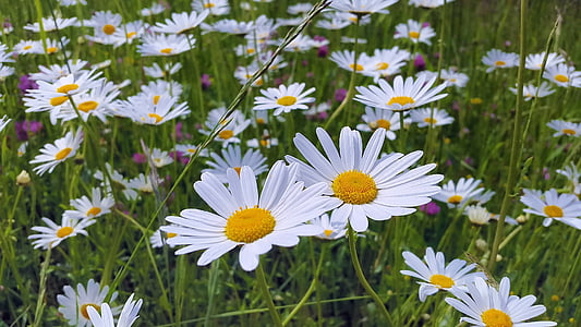 close up photo of daisy flower