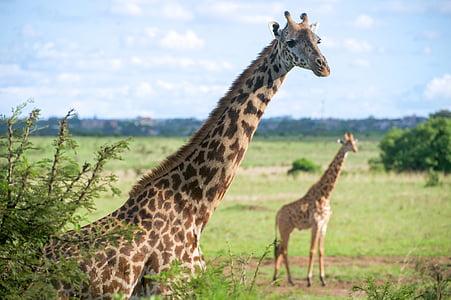 two giraffes on grass field