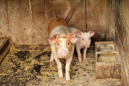 two white pigs beside wooden feeding box