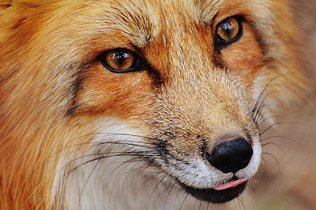portrait photo of orange fox