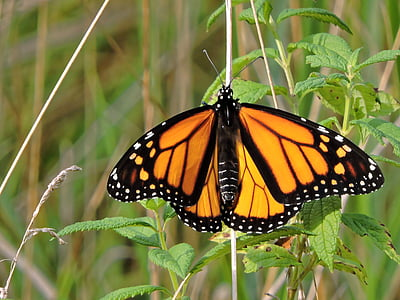 monarch butterfly perched on green leaf in closeup photography