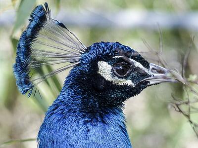 focus photo of Indian peafowl