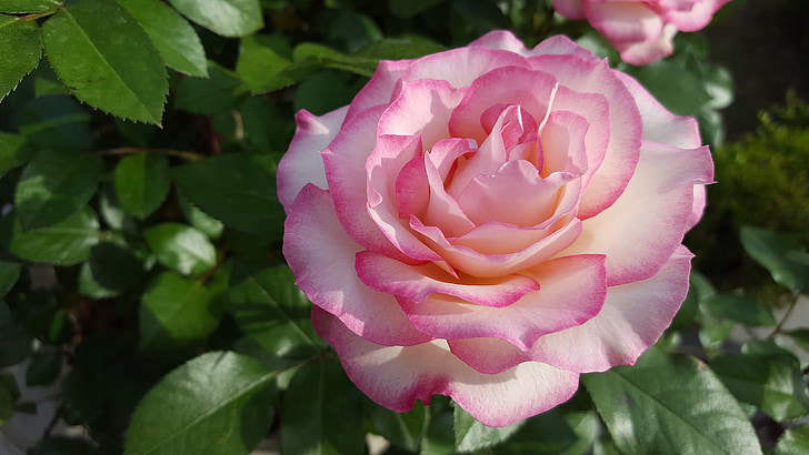 close up photo of white-and-pink roses