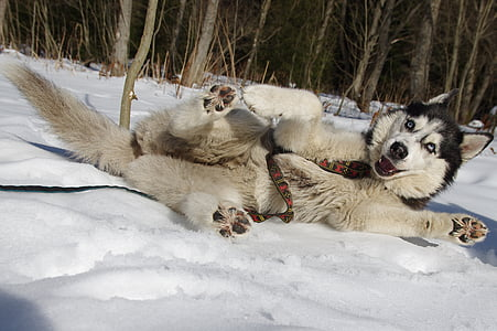 adult white and black Siberian husky lying on snow beside tree