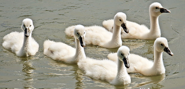 six white ducks on body of water
