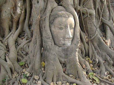 Buddha head bust in tree root