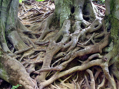 brown tree roots