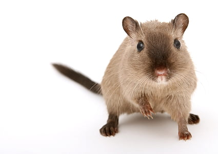 brown rodent on white surface