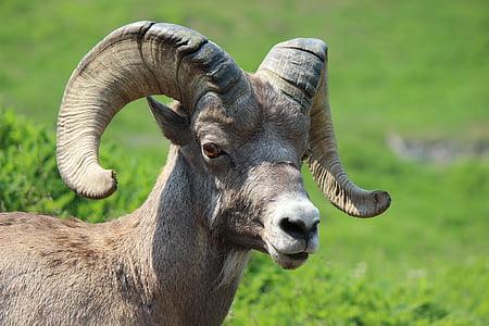 brown ram standing on grass field