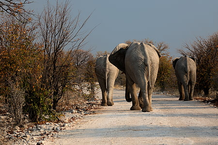 three elephant walking outside