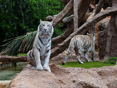 white tiger sitting on brown rock