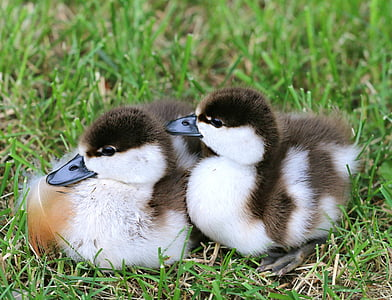 two black and white ducklings on green grass