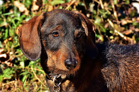 adult wirehiared black and tan dachshund
