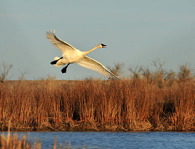 white swan flying over river