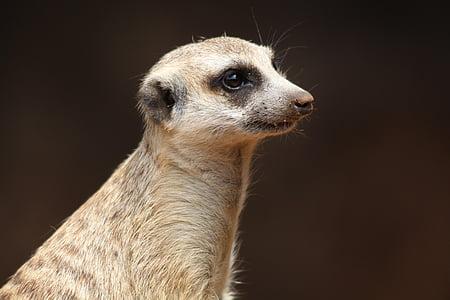 photo of brown meerkat