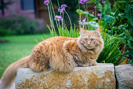 orange maine coon cat on brick