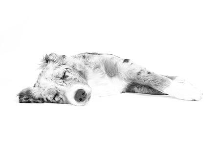 Australian shepherd puppy drawing