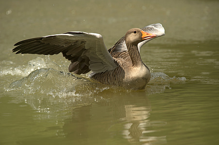 gray domestic goose on water during daytime