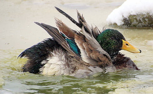 male mallard duck on body of water