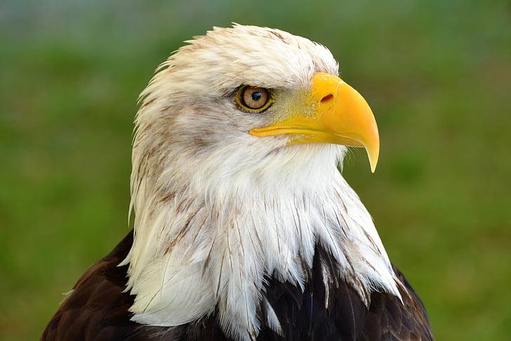 close-up photo of bald eagle