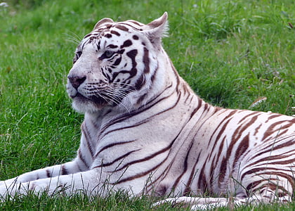 tiger lying on grass field