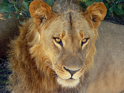 photography of lion on forest