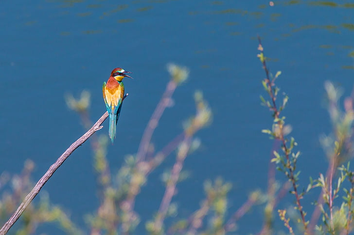 blue, yellow, and red bird standing on brown branch