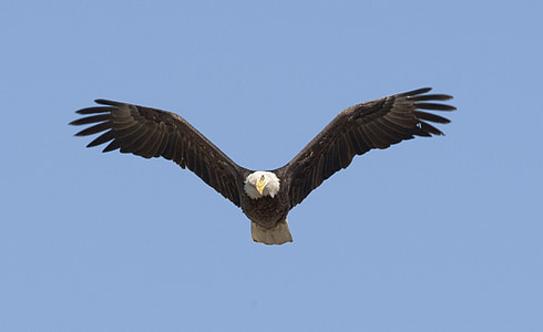 eagle flying on blue sky