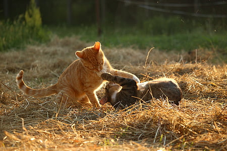orange and brown tabby cats playing on brown hay