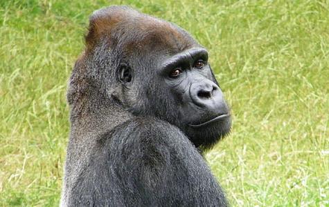 gorilla on green grass