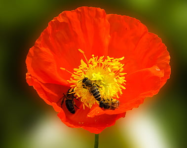 three yellow bees on red and yellow poppy closeup photo