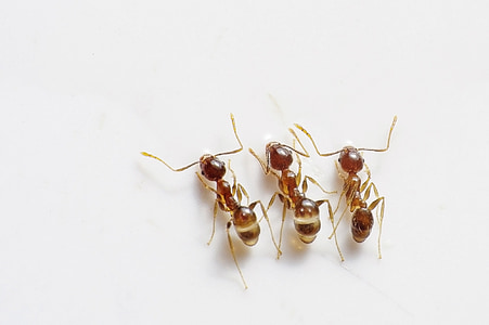three red ants on white surface
