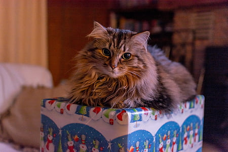 sitting brown maine coon on gift box