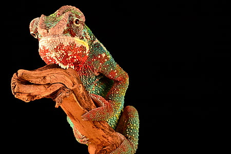 closeup photography of green and red chameleon