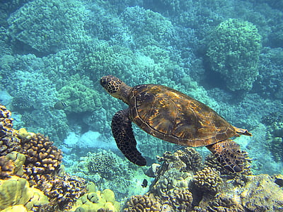 brown turtle in body of water near corals