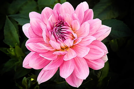 closeup photo of pink dahlia flower