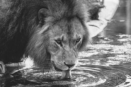 lion drinking water on ground