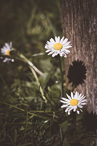 photo of white daisy flowers near brown tree trunk during daytime