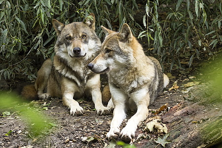 two brown and gray wolves