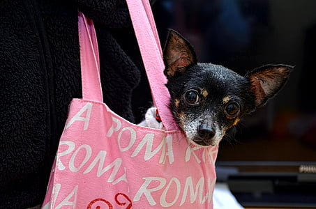 black and brown Rat terrier puppy on pink hand bag
