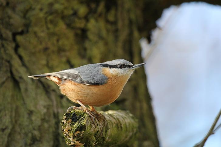 short-beak orange and gray bird