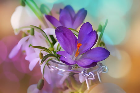 purple crocus flower and white spring snowflake flowers in clear glass canister