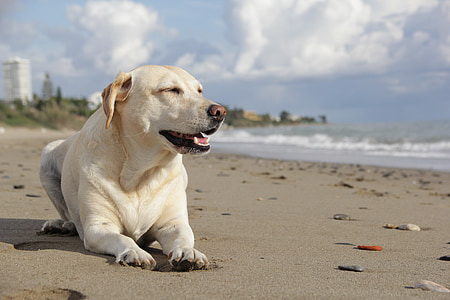 adult yellow Labrador retriever prone lying on seashore at daytime