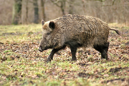 wild boar on the grass field